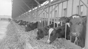Kombinat Państwowych Gospodarstw Rolnych w Kietrzu w 1975 r. Na zdjęciu bydło przy betonowym żłobie ustawionym wzdłuż kojców na dworze.