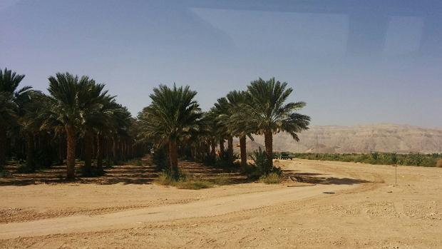 Palmy daktylowe na pustyni, czyli kibuc jest blisko. Palmy mają w korzeniach system filtrów, więc można podlewać ja każdą wodą, nawet morską.