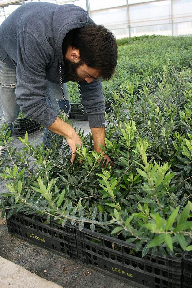 Włochy, Apulia, Cristiano wybiera sadzonki drzewek oliwnych.