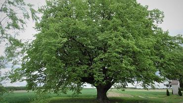 Klubu Gaja z Wilkowic rozstrzygnął 10. edycję konkursu Drzewo Roku. Tym razem wygrała Lipa św. Jana Nepomucena z Dulczy Wielkiej