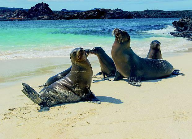 Lwy morskie na plażach Galapagos. Tutaj mieszka ich około 40 tys., a u wybrzeży Kalifornii jeszcze 50 tys.