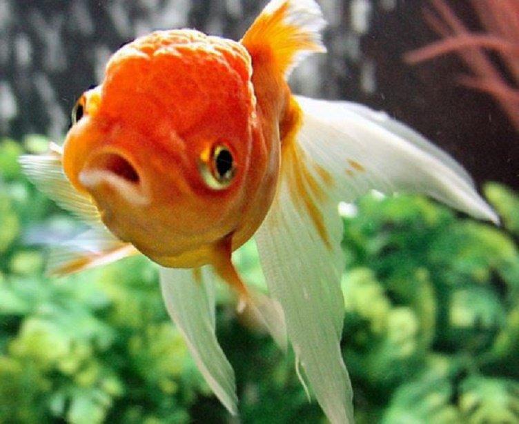 Nawet złota rybka potrafi to robić dłużej