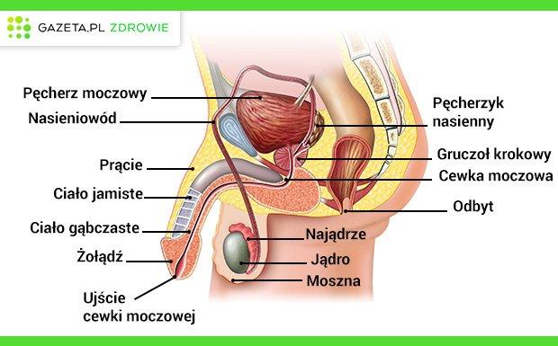 Układ płciowy męski zbudowany jest z narządów zewnętrznych - prącia i moszny, a także narządów wewnętrznych - jąder, gruczołów płciowych oraz dróg wyprowadzających nasienie.