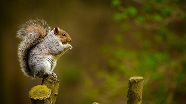 Dżuma dymienicza w USA. Chorobę wykryto u martwej wiewiórki (zdjęcie ilustracyjne)