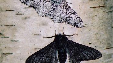 Najlepszy przykład ewolucji miejskiej to przypadek krępaka brzozowego, ćmy o rozpiętości skrzydeł wynoszącej prawie 5 cm