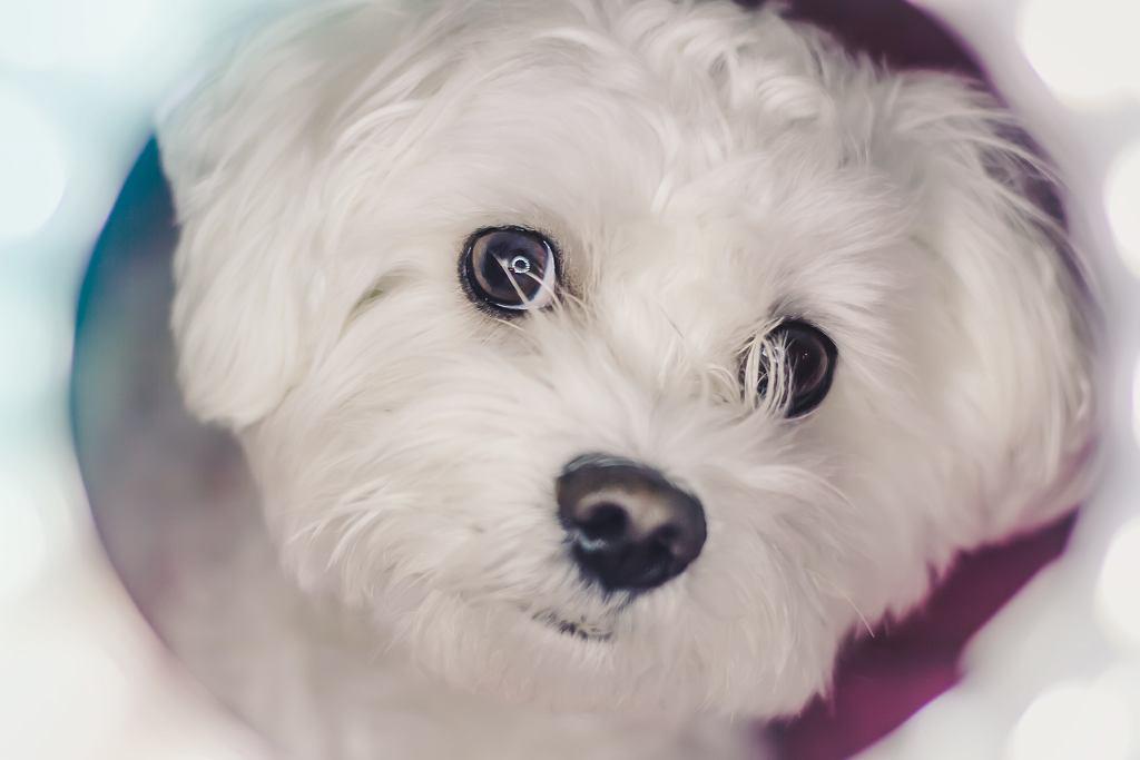 Sąd Rejonowy w Kaliszu szuka nowych właścicieli dla 65 psów rasy maltańczyk/hawańczyk