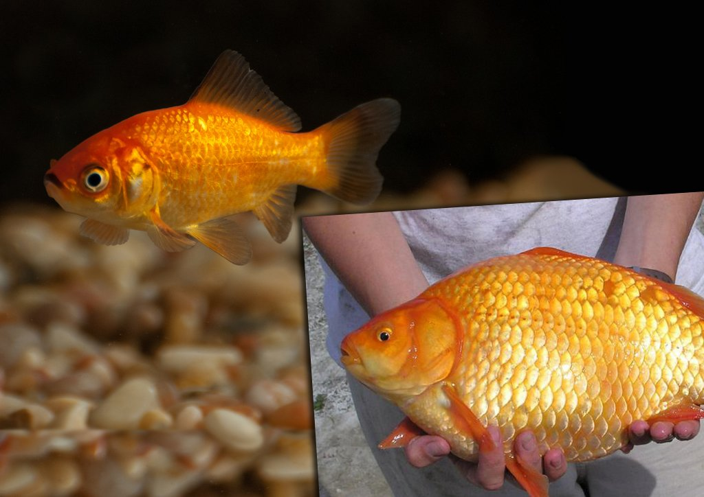 Złota rybka w akwarium i złowiona w Toronto