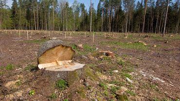 Dziś w Puszczy w pełni sezonu lęgowego ptaków można zobaczyć, jak w praktyce wygląda wprowadzana przez Lasy Państwowe w życie, a wymyślona  w Ministerstwie Środowiska, osobiście przez ministra Jana Szyszkę 'ochrona czynna' i 'odbudowa Puszczy'. Sprowadza się ona do bezwzględnego rżnięcia i sztucznego sadzenia przywiezionych ze szkółek drzewek. Polega więc na unicestwianiu tego, czym jest Puszcza Białowieska. Tego, za co jest podziwiana na świecie. Za naturalność i dzikość