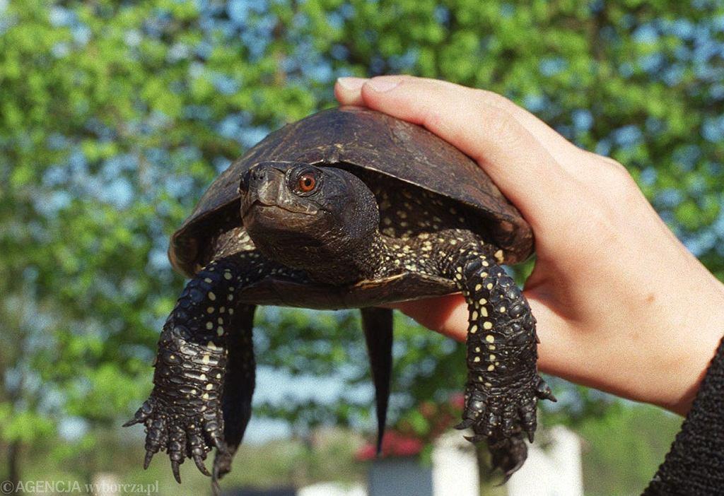 Żółw błotny z Puszczy Białowieskiej, 1999 r.