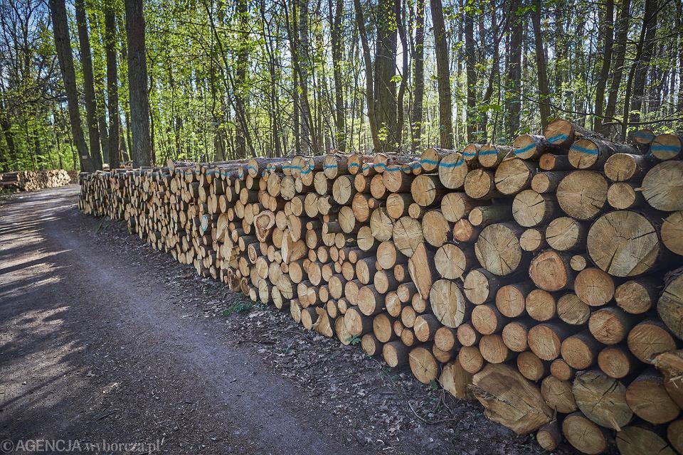 Wycięte drzewa w Lesie Łagiewnickim