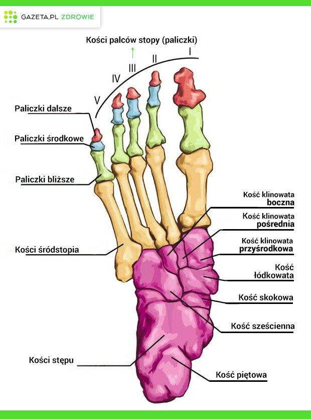 Układ kostny: kości stopy