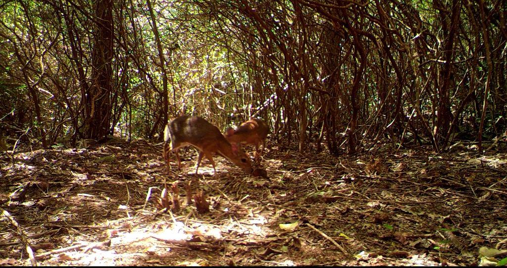 Myszo-jeleń zarejestrowany przez fotopułapkę