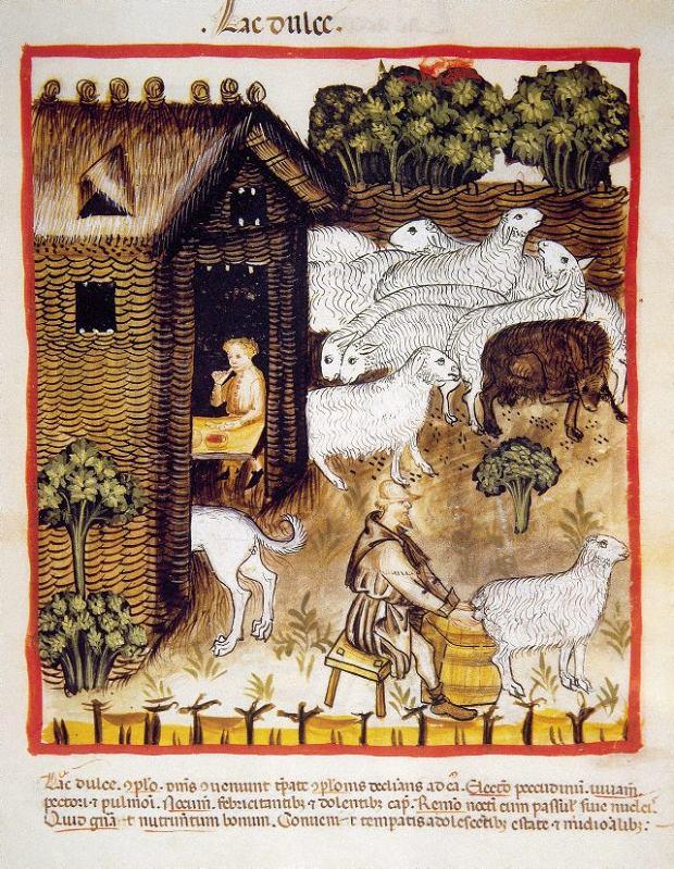 Dojenie owiec; ilustracja zXIV-wiecznej książki medycznej