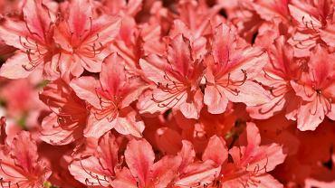 Różanecznik - uprawa, pielęgnacja i znaczenie tego imponującego krzewu. Jak dbać o rododendrony?