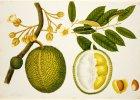 Trzy wielkie owoce Azji: chlebowiec, dżakfrut i durian
