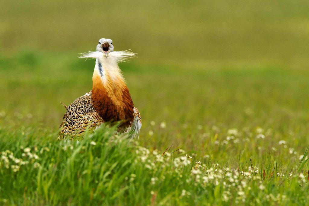 Drop to ptak ogromnych jak na nasze warunki klimatyczne rozmiarów. To najcięższe ptaki zdolne do aktywnego lotu.