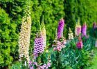 Naparstnica - roślina lecznicza cenna i groźna