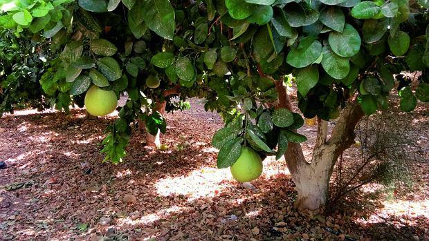 Drzewo z dojrzałymi pomelo. Kibuc Elifaz specjalizuje się w rolnictwie. Uprawiają też daktyle, melony, paprykę i... ogórki na pustyni.