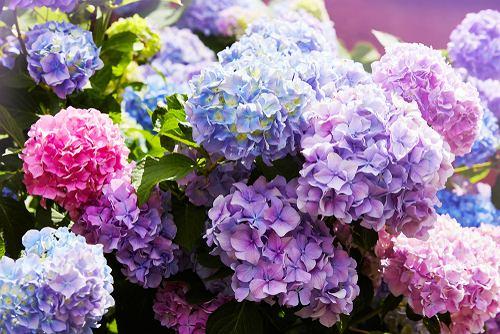 Kwiaty / rośliny niebezpieczne dla psa: hortensja
