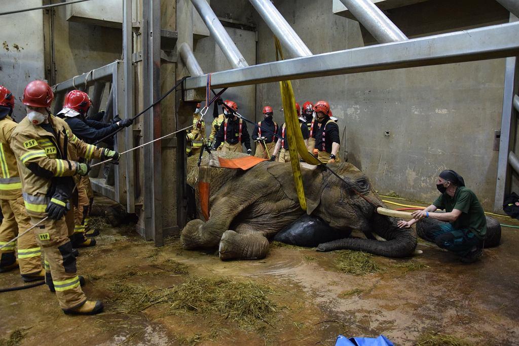 2 lutego 2021 r. Pracownicy zoo w Poznaniu walczą o życie słonicy Lindy