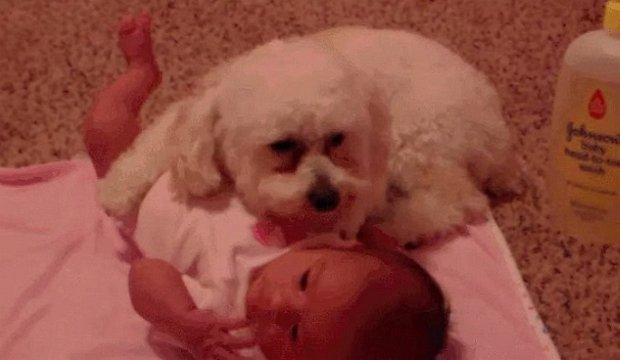 Pies ratuje dziecko