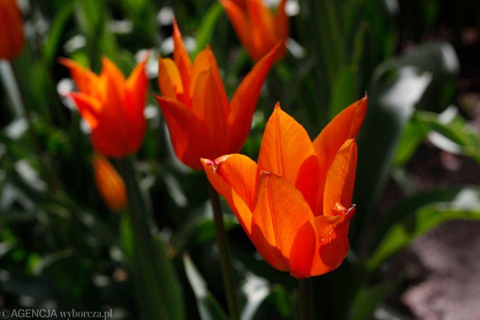 Zdjęcie numer 25 w galerii - Przy betonowej alei kwiatowej  wyrosły kwiaty. Tulipany o niezwykłych barwach