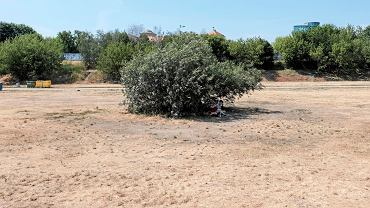 Trawa nie daje rady, zamiast zieleni jest suche ściernisko