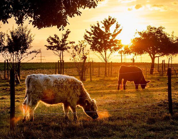 Produkcja mięsa, szczególnie wołowiny, wpływa na ocieplenie klimatu.