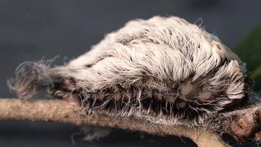 Najbardziej jadowita gąsienica w USA.