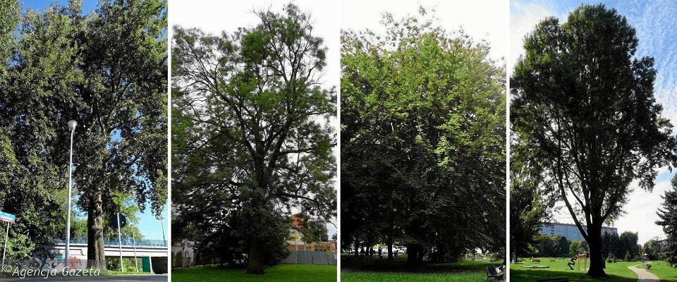 Drzewa, dla których miasto szuka imion