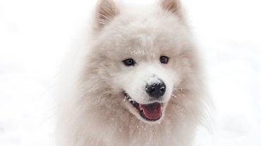 Samojed to rasa psa, która od tysiącleci towarzyszy człowiekowi - sprawdzi się dla rodziny z dziećmi.
