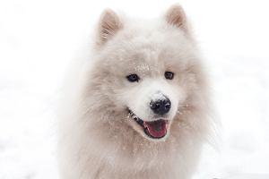 """Samojed - pies z """"uśmiechniętym"""" pyszczkiem będzie idealnym kompanem dla dzieci [wygląd, cechy]"""