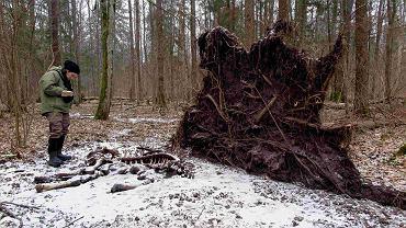 Puszcza Białowieska. Nuria Selva bada padlinę