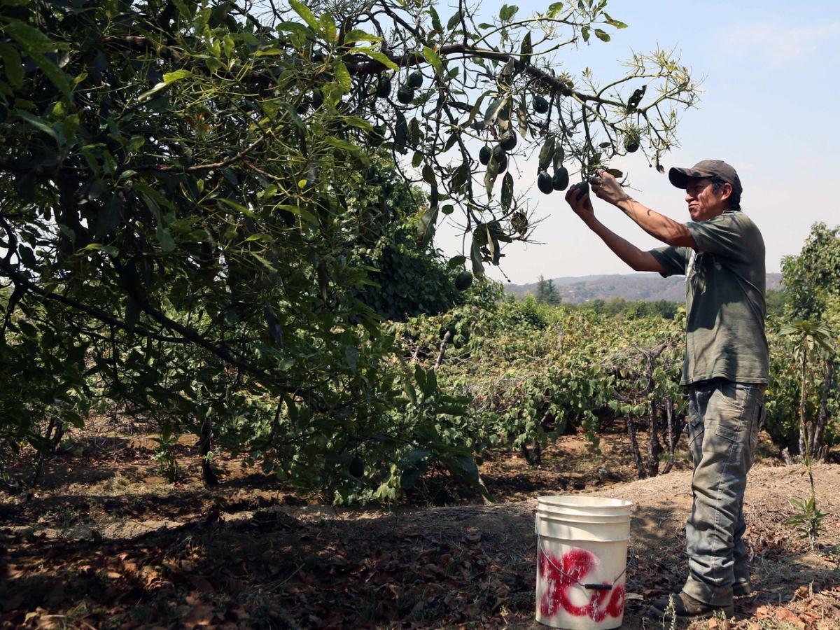Ciemna strona zielonego owocu. Plantacje awokado rujnują drobnych rolników i niszczą lasy