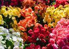 Kwiaty ogrodowe: begonia - jak sadzić, pielęgnować i jakie ma wymagania?