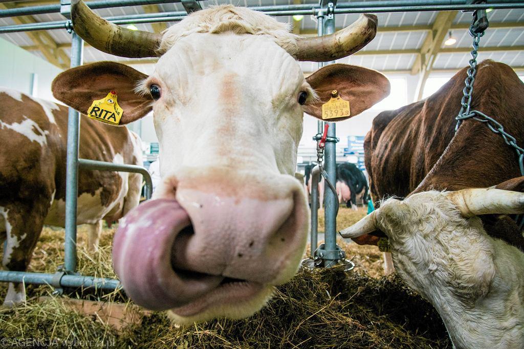 Czeski minister rolnictwa uważa, że zamknięcie niektórych ubojni to za mało. Chce dodatkowych kontroli