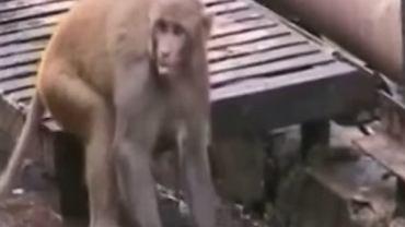 """Bohaterska małpka uratowała swoją nieprzytomną """"koleżankę"""""""
