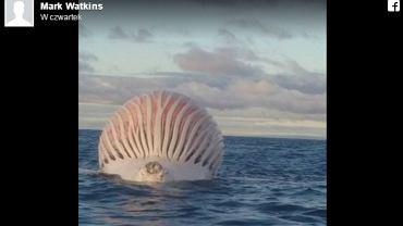 Nadmuchany brzuch wieloryba