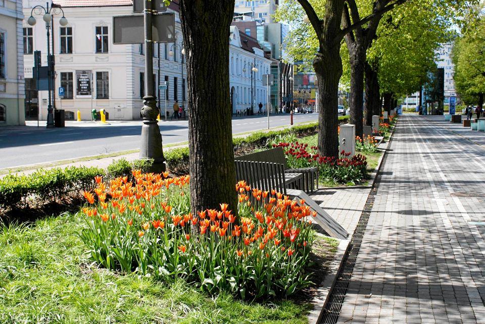Zdjęcie numer 23 w galerii - Przy betonowej alei kwiatowej  wyrosły kwiaty. Tulipany o niezwykłych barwach