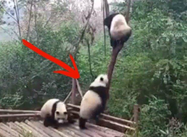 Pandy podczas zabawy