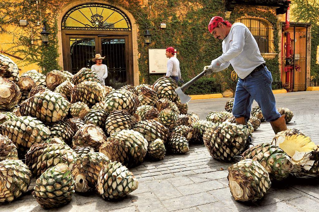 Meksyk, jesienny zbiór agawy wJalisco