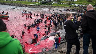 Polowanie na grindwale we wsi Sandavagur na Wyspach Owczych