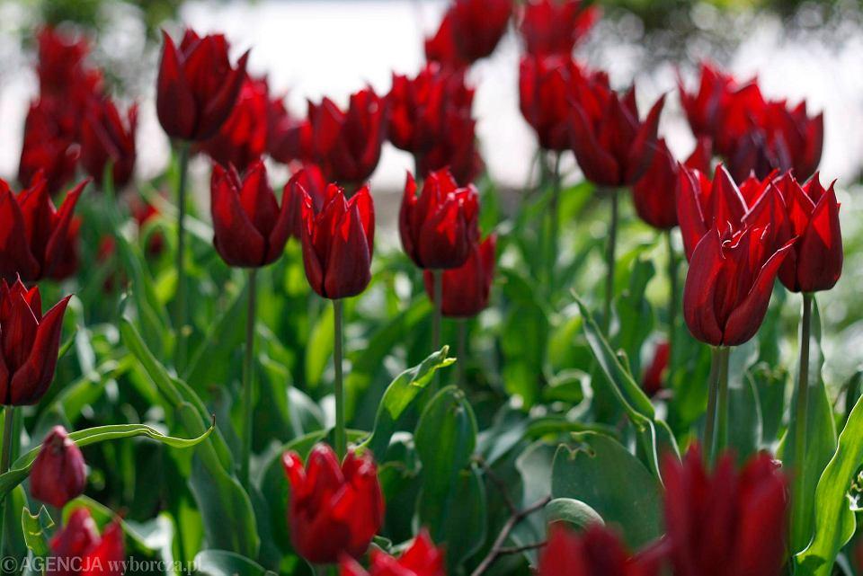Zdjęcie numer 22 w galerii - Przy betonowej alei kwiatowej  wyrosły kwiaty. Tulipany o niezwykłych barwach