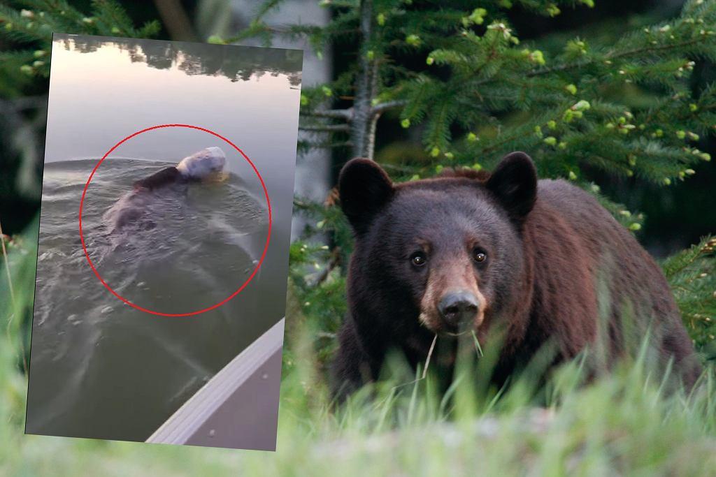 USA. Rodzina wędkarzy uratowała niedźwiedzia, który pływał ze słoikiem na głowie