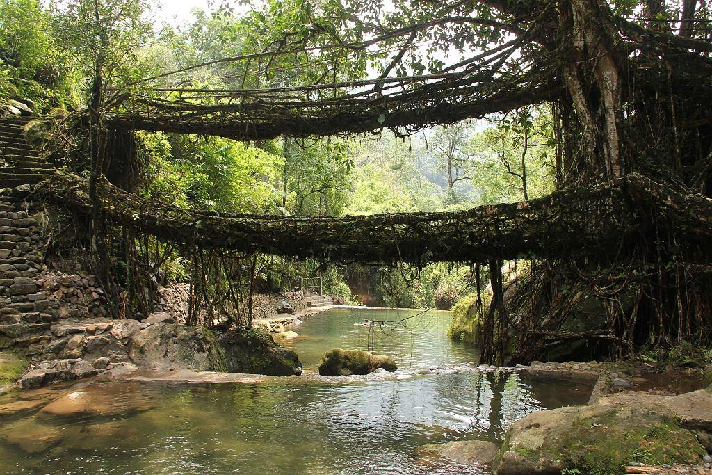 Żyjące mosty w Meghalaya / Fot. Arshiya Urveeja Bose, Wikimedia CC BY 2.0