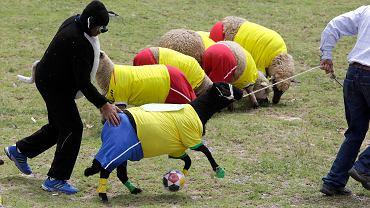 <b>Futbolowa gorączka przed mundialem ogarnia cały świat. Czy jednak kolumbijscy hodowcy nie posunęli się za daleko, kiedy ubrali swoje owce w stroje sportowe i kazali im grać w piłkę?</b>