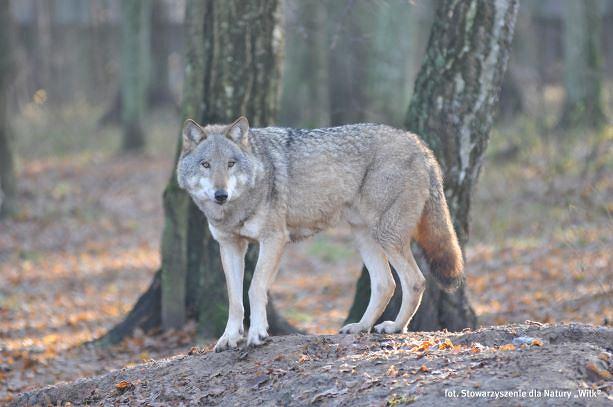 """""""Zwierzęta przeklęte. Wilk"""". Oprowadzanie kuratorskie po wystawie online"""