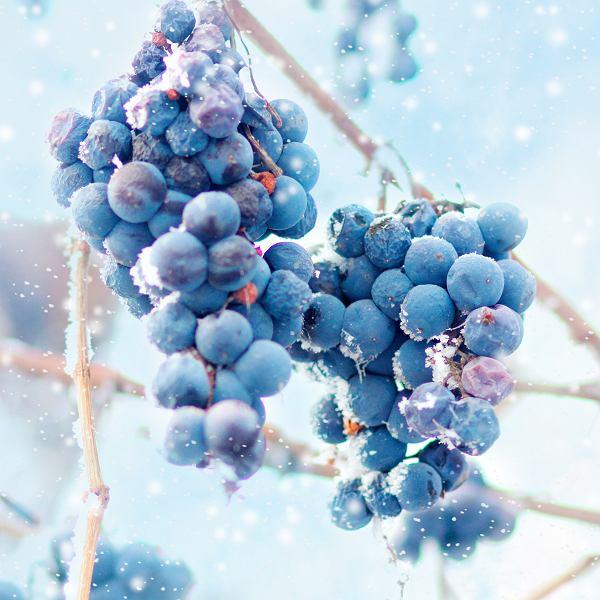 Wino lodowe to gatunek wina deserowego, który produkuje się zimą ze zmrożonych winogron.