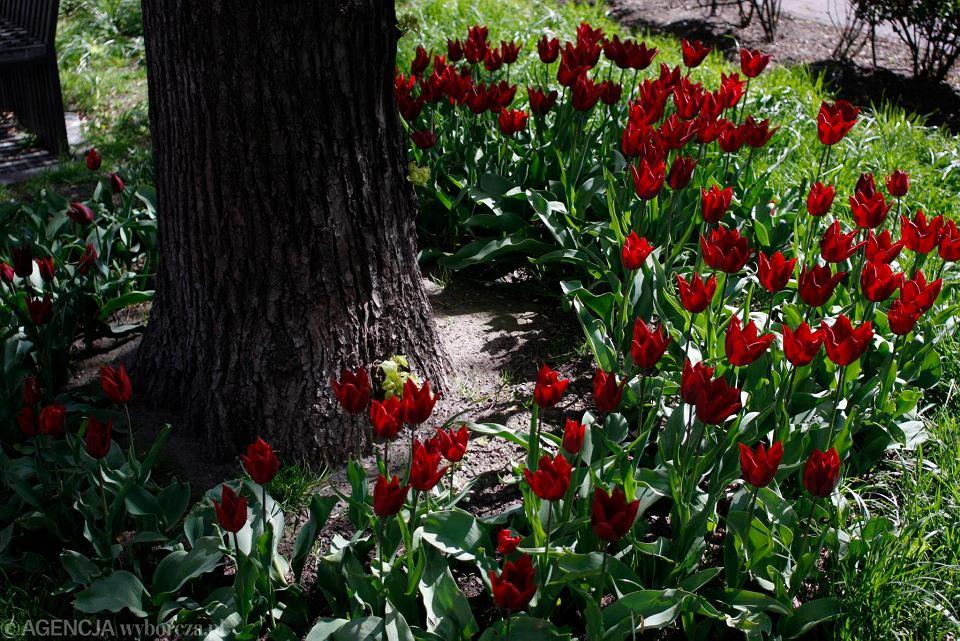 Zdjęcie numer 21 w galerii - Przy betonowej alei kwiatowej  wyrosły kwiaty. Tulipany o niezwykłych barwach
