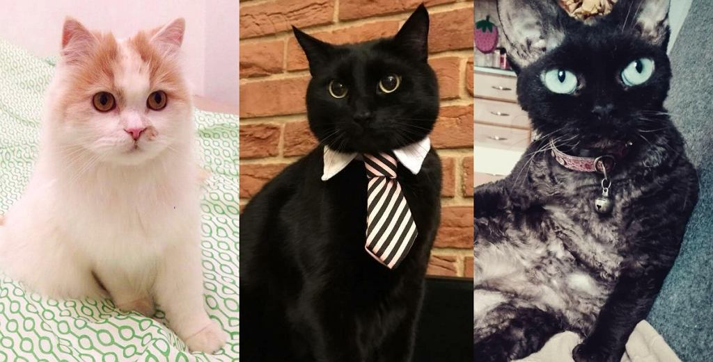 Który kot jest najpiękniejszy? Oto jest pytanie